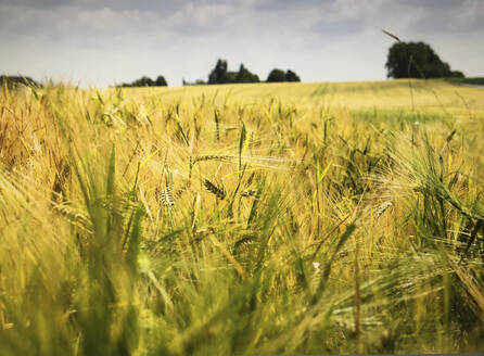 Close-up of wheat growing on agricultural field against sky - FCF01812