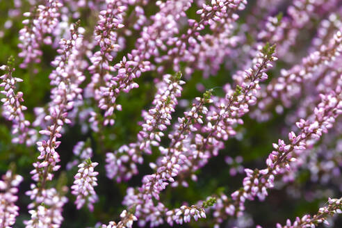 Close-up of pink heather growing in park - JTF01353