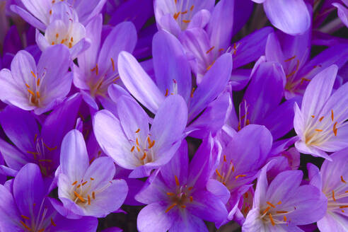 Full frame shot of purple crocus - JTF01356