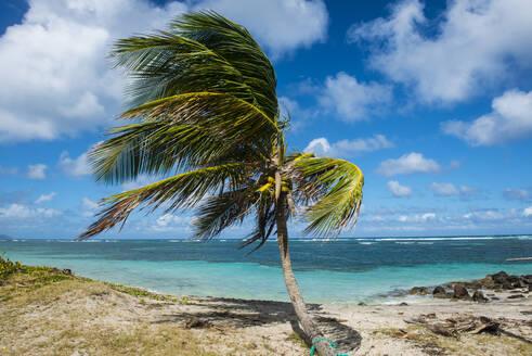 Palm tree at beach against blue sky, Saint Kitts And Nevis, Caribbean - RUNF03239