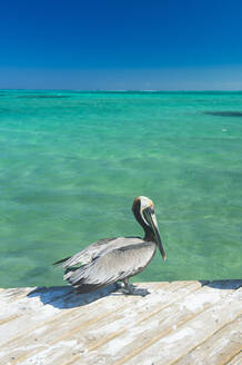 Pelican on pier over sea against clear blue sky, Providenciales, Turks And Caicos Islands - RUNF03334