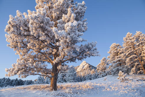 Pine tree and Flatirons in snow at sunrise above Boulder, Colorado - CAVF63439