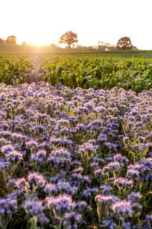 Germany, Schleswig-Holstein, Rettin, Purple flowers growing in field at sunset - EGBF00324
