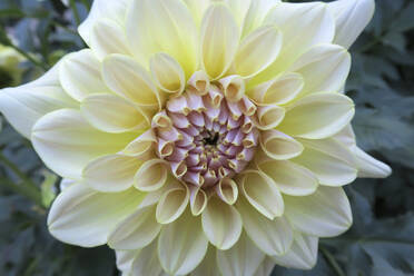 Germany, Saxony, close up of dahlia - JTF01364