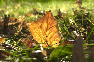 Germany, Saxony, close up of autumn leaf lying on grass - JTF01367