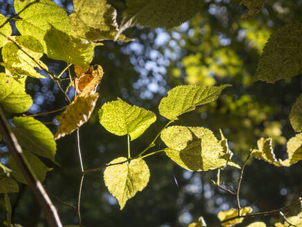 Germany, Bavaria, Upper Palatinate Forest, leaves in sunlight - HUSF00078
