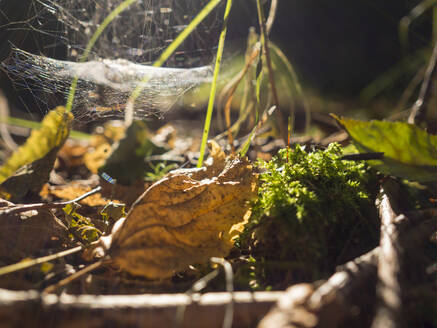 Germany, Bavaria, Upper Palatinate Forest, wilted leaves and web - HUSF00081