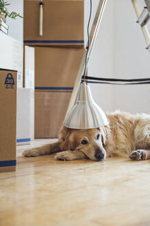 Dog under lampshade lying on the floor in front of cardboard boxes in an empty room in a new home - MAMF00825