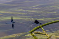 Croatia, Blue damselfly perching on plant stem sticking out of water - NGF00522