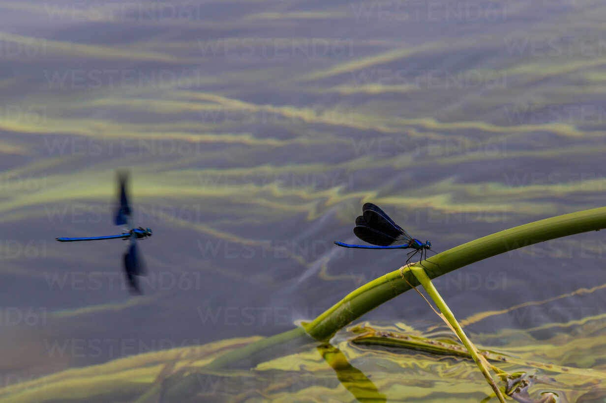 Croatia, Blue damselfly perching on plant stem sticking out of water - NGF00522 - Nadine Ginzel/Westend61