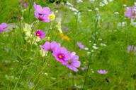 Germany, Bavaria, Bad Gronenbach, Pink blooming garden cosmos (Cosmos bipinnatus) flowers - LBF02731