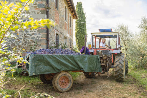 Man on tractor with harvested grapes on trailer - MGIF00796