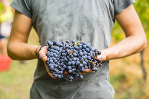 Close-up of man holding red grapes in vineyard - MGIF00805
