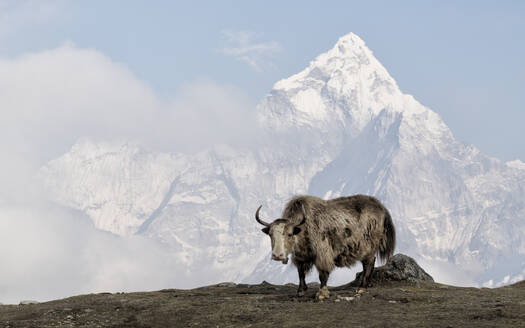 Yak, Sagarmatha National Park, Everest Base Camp trek, Nepal - ALRF01537