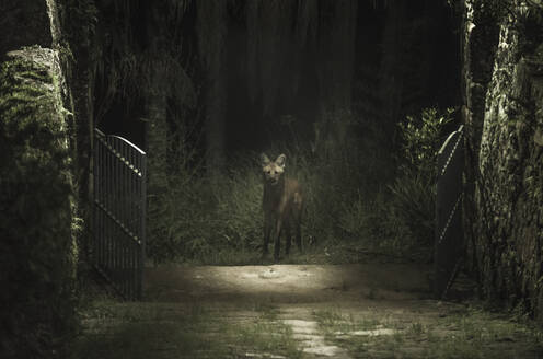 Maned wolf in the forest looking inside the cottage gates - CAVF65408