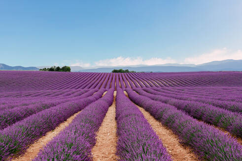 Lavender fields in the summer - CAVF65521