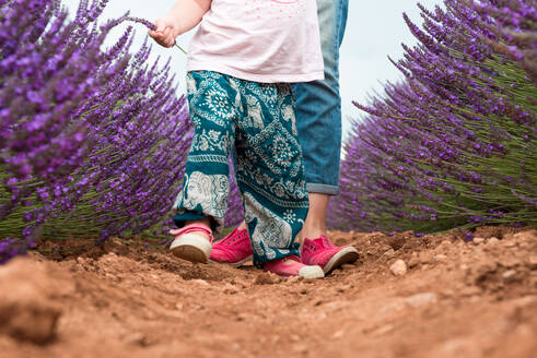 Little toddler girl walking among lavender fields in the summer - CAVF65578