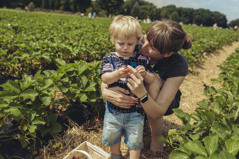 Mother and son picking strawberries in strawberry plantation - MFF04904