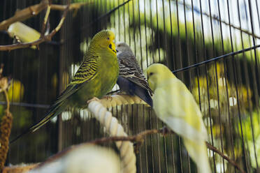 Budgies sitting in a cage on a twig - MFF04934