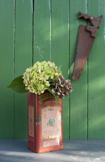 Hydrangea flowers blooming in old metal canister in front of green fence - GISF00474