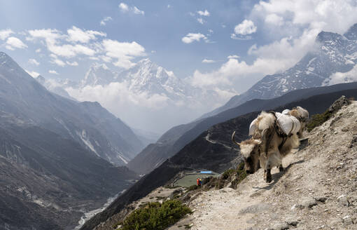 Packed yak, Solo Khumbu, Nepal - ALRF01568