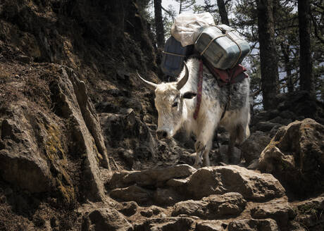 Cattle carrying canisters, Solo Khumbu, Nepal - ALRF01598