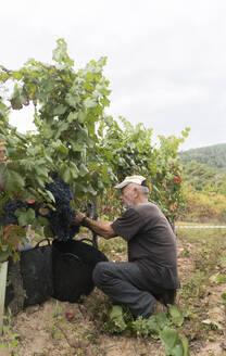 Man harvesting blue grapes in vineyard - AHSF00969