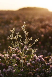 Flower in a clover field at sunset, Ryazan, Russia - EYAF00621