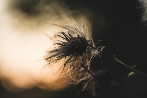 Macro Up Close of a Weed at Sunset - CAVF65815
