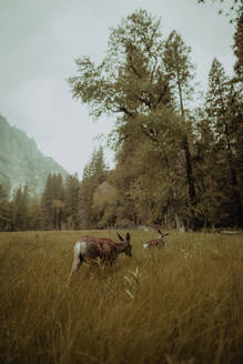 Deers grazing in nature reserve, Yosemite National Park, California, United States - ISF22686