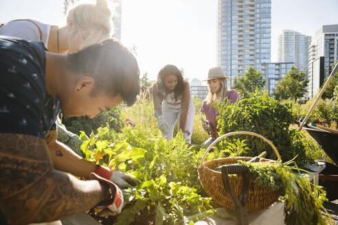Friends tending to plants in sunny, urban community garden - HEROF39420