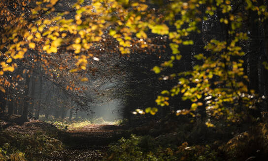 Common beech (Fagus sylvatica) trees and path, morning sunlight, autumn colour, King's Wood, Challock, Kent, England, United Kingdom, Europe - RHPLF12554