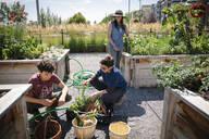 Family harvesting fresh vegetables in sunny community garden - HEROF39564