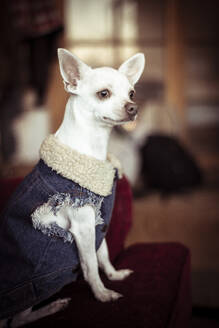 Small white dog with wool denim jacket on looks out window on couch - CAVF66302