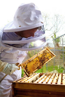 Male beekeeper inspecting honeycomb frame in walled garden - CUF52957