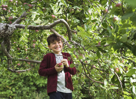 Young boy smiling as he picks apples off of an apple tree. - CAVF66940