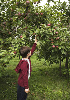Young boy reaching up to pick a ripe apple off of an apple tree. - CAVF66943