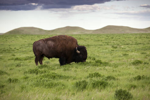 Side view of American Bison grazing at grassy field - CAVF67558