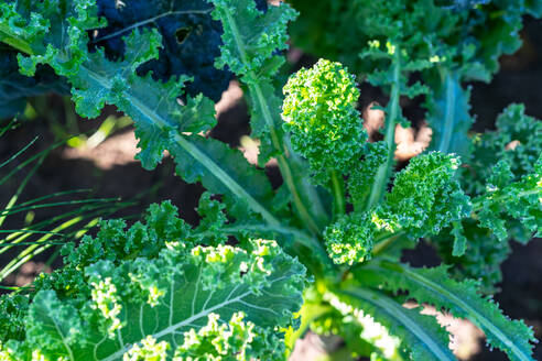 Frosty organic curly kale during early morning at the farm - CAVF67591