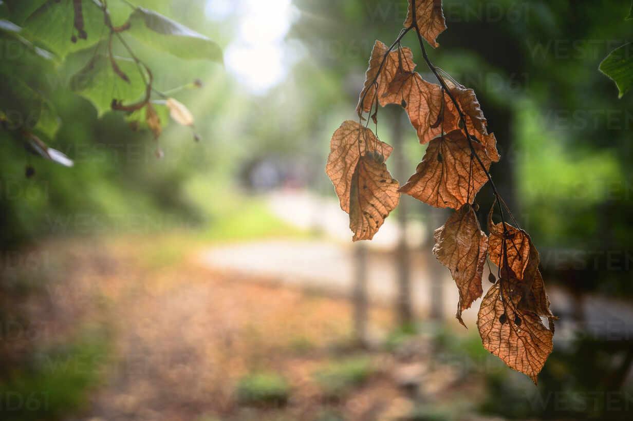 Autumnal leaves in backlight - FRF00876 - Frank Röder/Westend61
