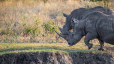Two white rhino, Ceratotherium simum, walk together, looking out of frame, side profile of horn, leg raised - MINF12736