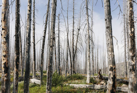 A previously burnt subalpine forest rebounds in summer with lodgepole pine and a variety of wildflowers, yarrow, aster, arnica and corn lily. - MINF12817