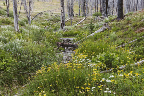 A previously burnt subalpine forest rebounds in summer with lodgepole pine and a variety of wildflowers, yarrow, aster, arnica and corn lily. - MINF12820