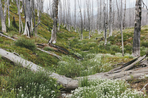 A previously burnt subalpine forest rebounds in summer with lodgepole pine and a variety of wildflowers, yarrow, aster, arnica and corn lily. - MINF12823