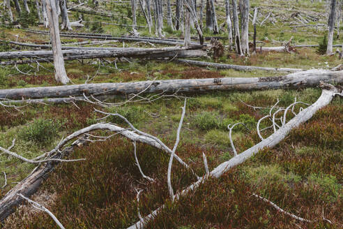 A previously burnt subalpine forest rebounds in summer with lodgepole pine and a variety of wildflowers, yarrow and woodrush. - MINF12826