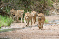 A pride of lions, Panthera leo, walk in a river bed towards camera, looking out of frame, ears back - MINF12853