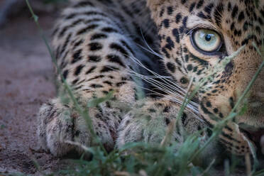 Half a leopard's face, Panthera pardus, as it crouches low to the ground, yellow green eye, direct gaze. - MINF12856