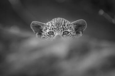 A leopard cub, Panthera pardus, peaks over a log, direct gaze, in black and white. - MINF12946