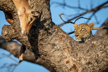 A leopard, Panthera pardus, lies in the fork of a tree with its impala kill, Aepyceros melampus, which drapes over the branch - MINF12962