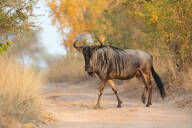 A blue wildebeest, Connochaetes taurinus, walks across a sand road, direct gaze, leg raised, yellow green background - MINF13225